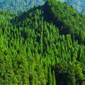 枡の素材である「ヒノキ」とはどんな木材?